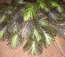Kalanchoe tubiflora delagoensis  |  1 Rooted Succulent Plant