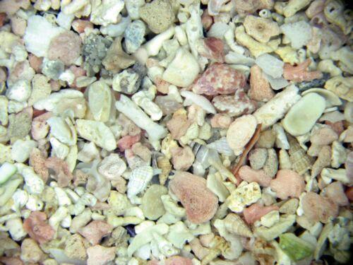Holocene recent shell sand foraminifera ostracods Palermo Sicily