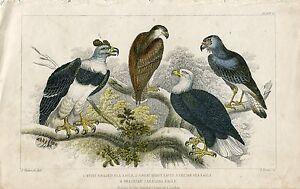 Pajaros-White-Headed-Sea-Eagle-Great-Harpy-Eagle-1850