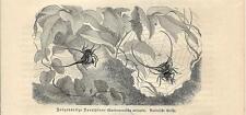 Stampa antica INSETTI RAGNO Gasterachanta arcuata INSECTA 1891 Old antique print