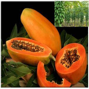 Fresh Thai red lady papaya tree plant fruit seeds very sweet | eBay
