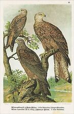 Chromo-Lithographie 1903, Roter Schwarzer Milan, Milvus, Ornithologie Vogelkunde