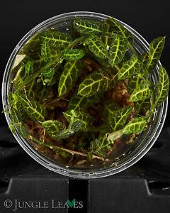 Solanum evolvulifolium - Kleinbleibende Terrarienpflanze Ranke schöne Blätter