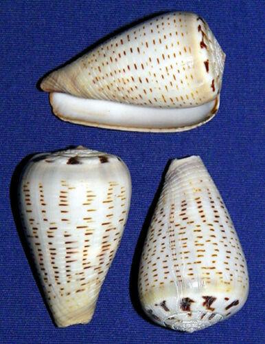 Conus-Glaucus-Gray-Cone-Shell-1-1-2-034-Seashell-Craft-Supply-2-4-6-Pcs