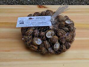 """Lumache da gastronomiaallevate in Sicilia, specie """"Helix Aspersa"""""""