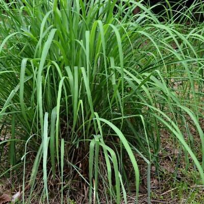 Cymbopogon Winterianus Citronella Grass 100 Seeds Ornamental Ebay