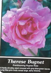 Therese Bugnet Lilac Pink Rose 2 Year Live Bush Plants