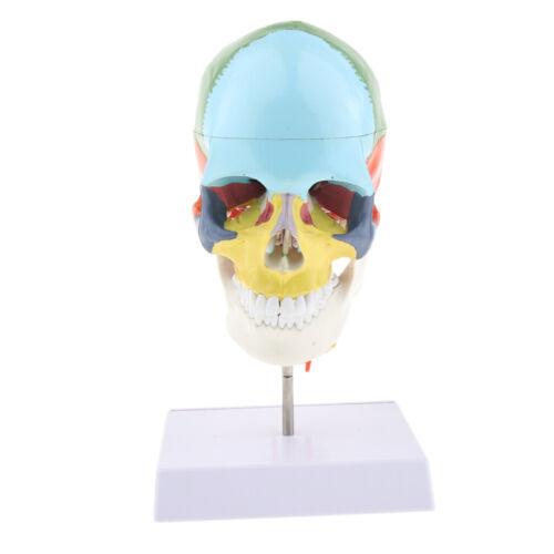 1-farbiger 22-teiliger menschlicher Schädel mit Halswirbelanatomiemodell 1