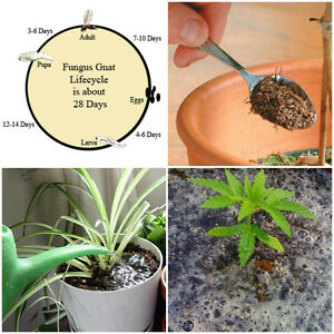 Details about Peat Fly, Fungus Gnat, Scarid Fly Larvae Treatment -  Concentrate