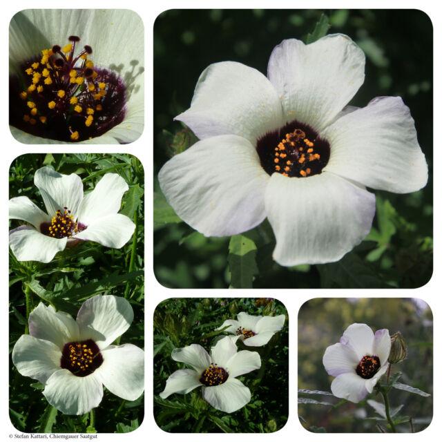 Roseneibisch | 100 Korn Saatgut | Hibiscus trionum Stundenblume Hibiskus Eibisch