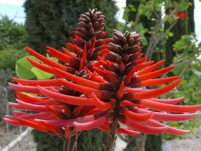 Erythrina Coralloides - Flame Coral Tree -Rare Tropical Plant Tree Seeds (10)