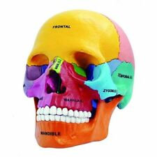 New Human Anatomical Model Didactic Exploded Skull Model 4D Vision US Stock