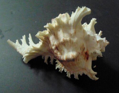 "7/"" to 8/"" PACIFIC MUREX MULTIRAMOSUS SEA SHELL  BEACH DECOR  TROPICAL REEF"