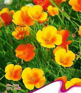 Fd1962 california poppy seed bright yellow poppy garden flower 1 image is loading fd1962 california poppy seed bright yellow poppy garden mightylinksfo