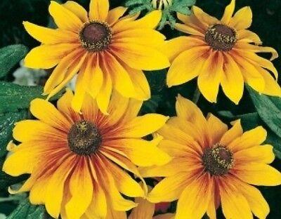 GLORIOSA DAISY FLOWERS 100 FRESH SEEDS FREE USA SHIPPING