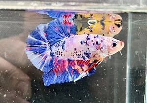 """Live Giant Betta - GIANT CANDY MULTICOLOR - USA Seller - Body Only 1.8"""""""