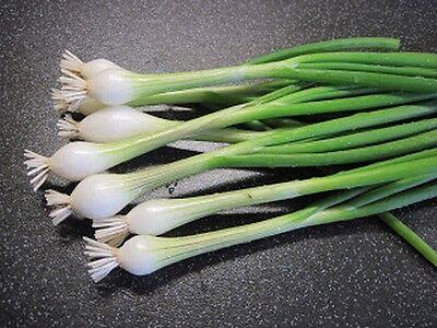 Spring Onion WHITE LISBON 150 seeds (HEIRLOOM / ORGANIC) Vegetables Pickling