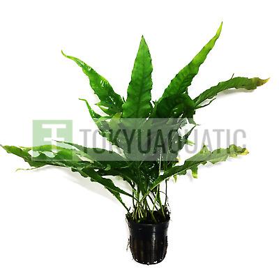Potted Java Fern Thunder Leaf Freshwater Live Aquarium Plant BUY2GET1FREE Planterest Microsorum Pteropus Sunrise