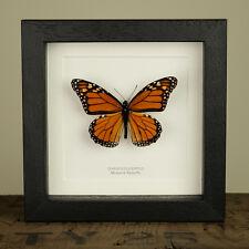 Monarch Butterfly in Box Frame (Danaus plexippus)