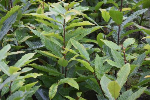 Esskastanie 120-150cm cm jede Stückzahl möglich Marone 1st Castanea sativa