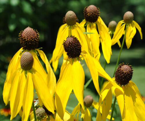 US SELLER FREE SHIPPING WILDFLOWER Ratibida Yellow Prairie Coneflower Seeds 100