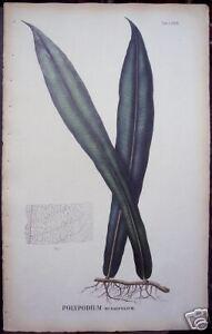 Karl-Ludwig-Blume-034-Polypodium-Musaefolium-034-1829
