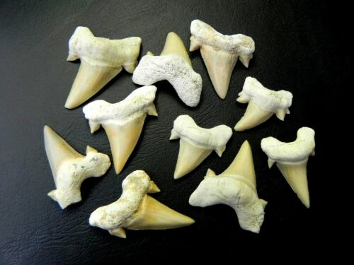 "1 /"" 1 3//8 /"" Small Otodus Shark Tooth 10 Pcs Moroccan Fossil Teeth A grade"