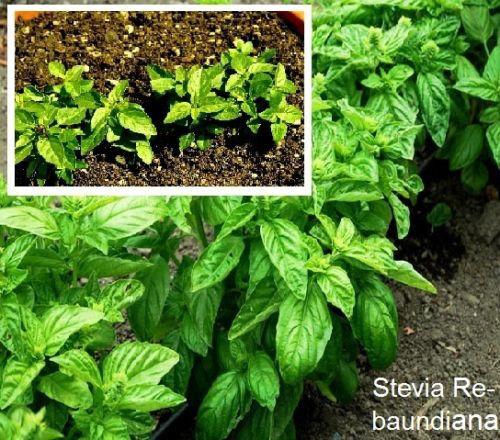 Schnellw Stevia rebaundiana Kalorienfreie Süße 100 Samen