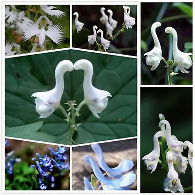 100pcs Rare Swan Flowers Seeds Characteristics White Flower Seeds Home Decor