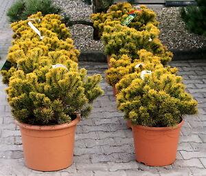 Zwergkiefer-Kiefer-Pinus-mugo-039-Carstens-Wintergold-039-30-40-cm-im-Container