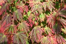 ACER JAPONICA Aconitifolium  10 SEEDS- FABULOUS SCARLET WITH LACY LEAVES.