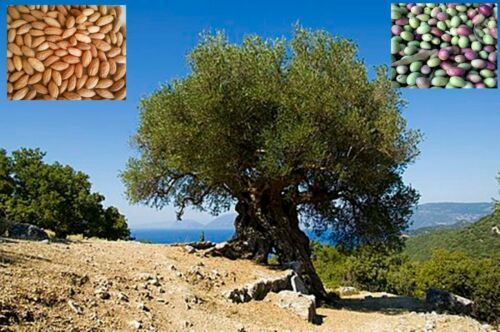 100 Fresh seeds Olive tree Koroneiki