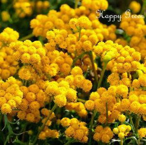 Amarillo-Ageratum-Lonas-inodora-850-Semillas-Flor-de-Frontera-anual-de-corte