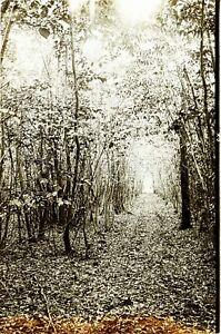 Camino De Postal- Bosque Natural c1900, Foto Estéreo Placa Cristal VR9L12