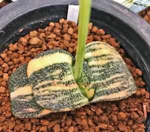 Gasteria armstrongii /'GN-050/',10 fresh seeds 2020 Set G-75