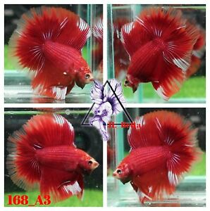 [168_A3]Live Betta Fish High Quality Male Fancy Over Halfmoon 📸Video Included📸