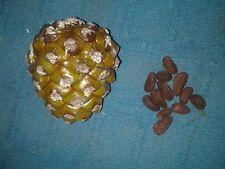 Graines de pin (Pinus Pinea) Pin de pin italien 10 graines