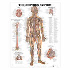 The Nervous System Anatomical Chart by Anatomical Chart Co. (Fold-out book or chart, 2001)