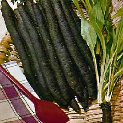 Vegetable -  Scorzonera - Giant Rooted Maxima  - 150 seed