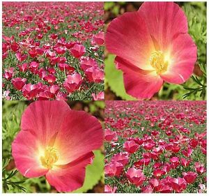 1600 bulk california poppy flower seeds carmine eschscholzia image is loading 1 600 bulk california poppy flower seeds carmine mightylinksfo