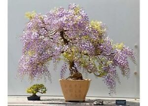 how to grow blue japanese wisteria bonsai from seed