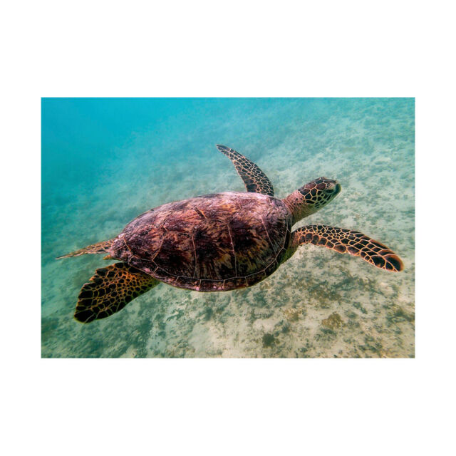 Animal Photo Reptile Red Back Sea Turtle Framed Art Print Poster 12x16 Inch For Sale Online
