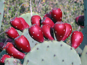Winter-Resistant-Spineless-Prickly-Pear-2-Cactus-Pads-Hardy-EASY2GROW-Ships-FREE
