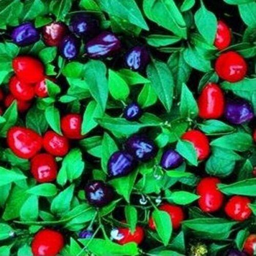 Capsicum Annuum Filius BOGO 50/% off SALE 50 Seeds Ornamental Pepper-