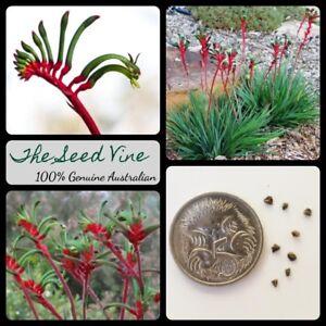 30-RED-amp-GREEN-KANGAROO-PAW-SEEDS-Anigozanthos-manglesii-Drought-Tolerant