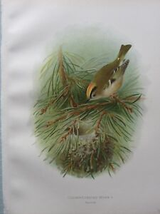 1907 Antico Uccello Stampa ~ Golden Crested Wren