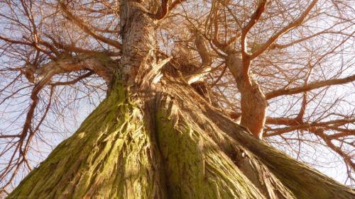 Sumpfzypresse Taxodium distichum Zapfen 20 Samen seeds winterhart wie Mammutbaum