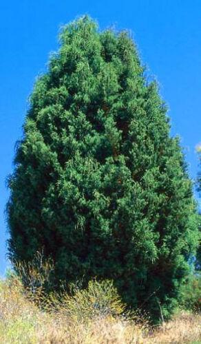 Port Jackson Pine Seed Drought//Frost Resistant Native Callitris rhomboidea