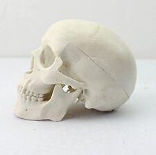 Dental Mini Human Medical Anatomical Head Bone Skull Bone Model