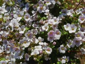 Gypsophila-Cerastioides-039-Alpine-Baby-039-s-Breath-039-Hardy-Rockery-Plant-in-9cm-Pot